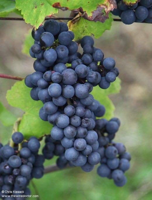 Loire Varieties: Pinot Noir